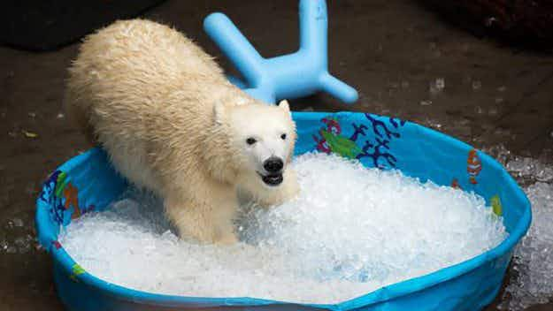 This adorable polar bear playing in a kiddie pool is helping scientists looking at climate change