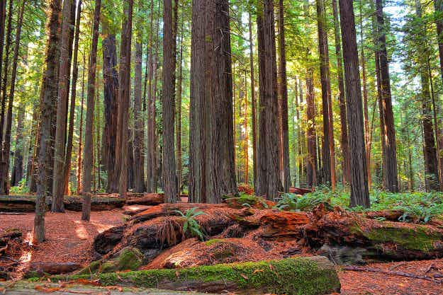Ireland is set to have the world's largest redwood forest outside of California