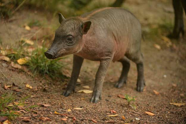 The rare birth of a baby Babirusa has been recorded at Chester Zoo