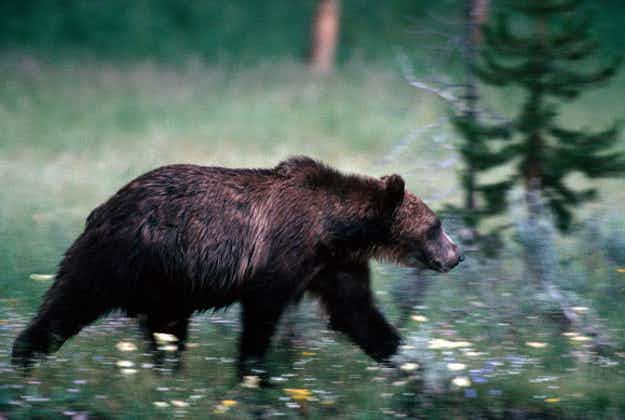 Yellowstone grizzly bears one step closer to coming off endangered species list