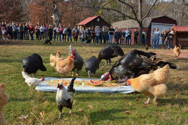 At an animal sanctuary in Maryland, you can eat Thanksgiving dinner with the turkeys