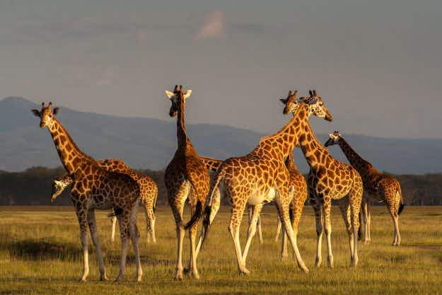 Conservationists warn giraffes are facing a 'silent extinction'