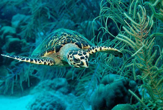 Endangered hawksbill turtles make a comeback off the coast of Belize
