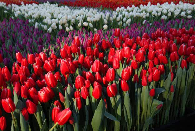 How to snap a prize photo at Amsterdam's National Tulip Day