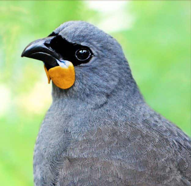 A reward is being offered in New Zealand for a sighting of a rare and possibly extinct Kokako bird