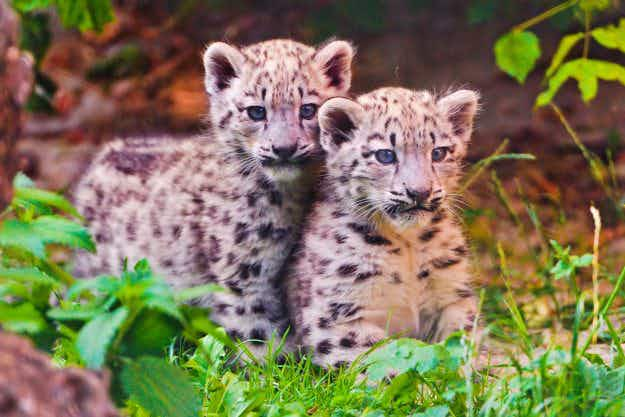 If travelling to India, beware of cute 'kittens' that may in fact be baby leopards