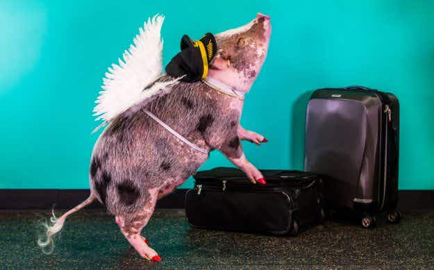 San Francisco Airport's therapy pig Lilou is proving a massive hit with passengers