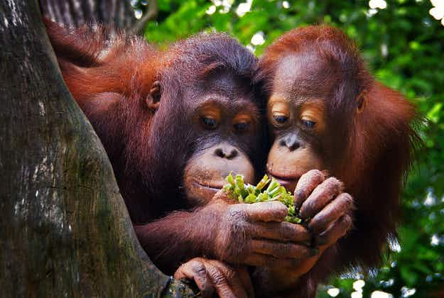 Dutch zoo trials 'Tinder for orangutans' to select mating partner