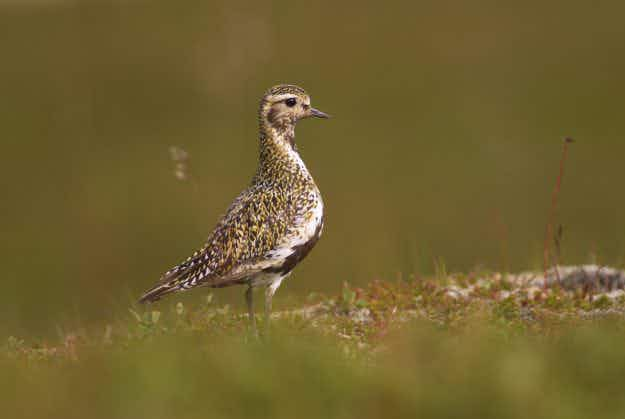 Spring has sprung in Iceland as the golden plover returns to the skies