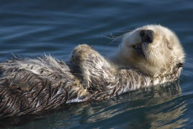 Adorable sea otters are making a comeback in California's Morro Bay