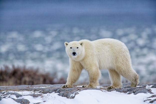 Travel News - Polar Bear