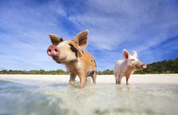 How tourists can protect the last of the Bahamas' famous swimming pigs