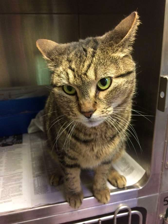 """BooBoo the cat """"hitchiked"""" from California to Canada. Image: Guelph Human eSociety"""