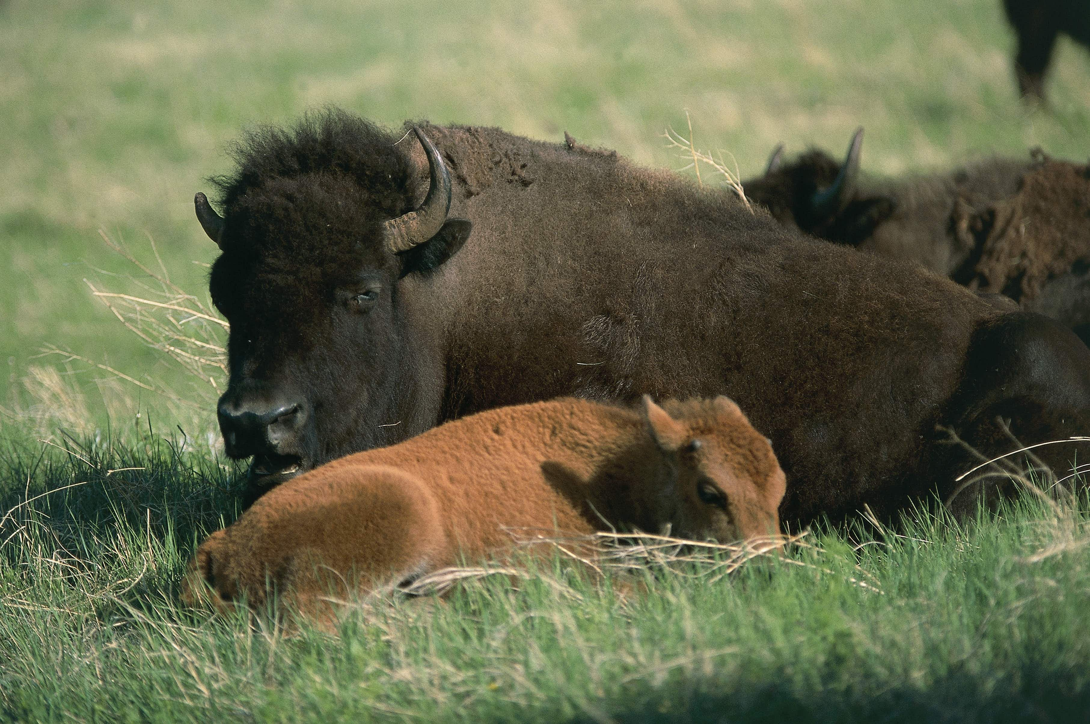 Now is the best time to spot adorable bison calves in South Dakota