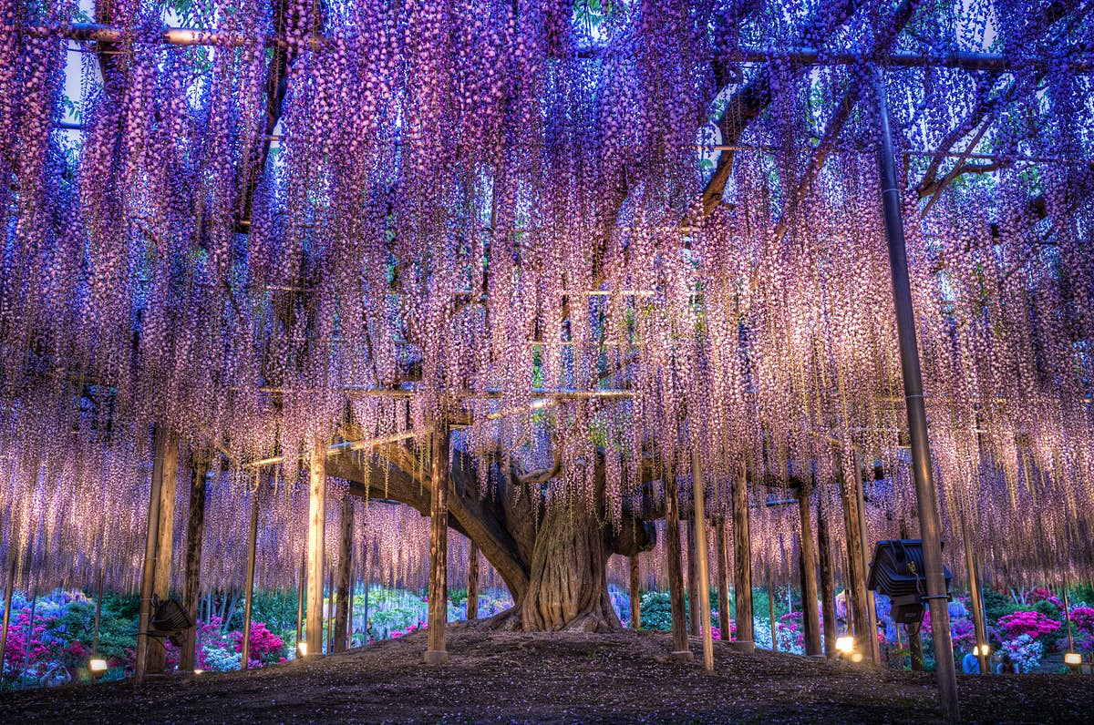 Forget cherry blossoms - go to Japan to see the incredible cascading wisteria tunnels