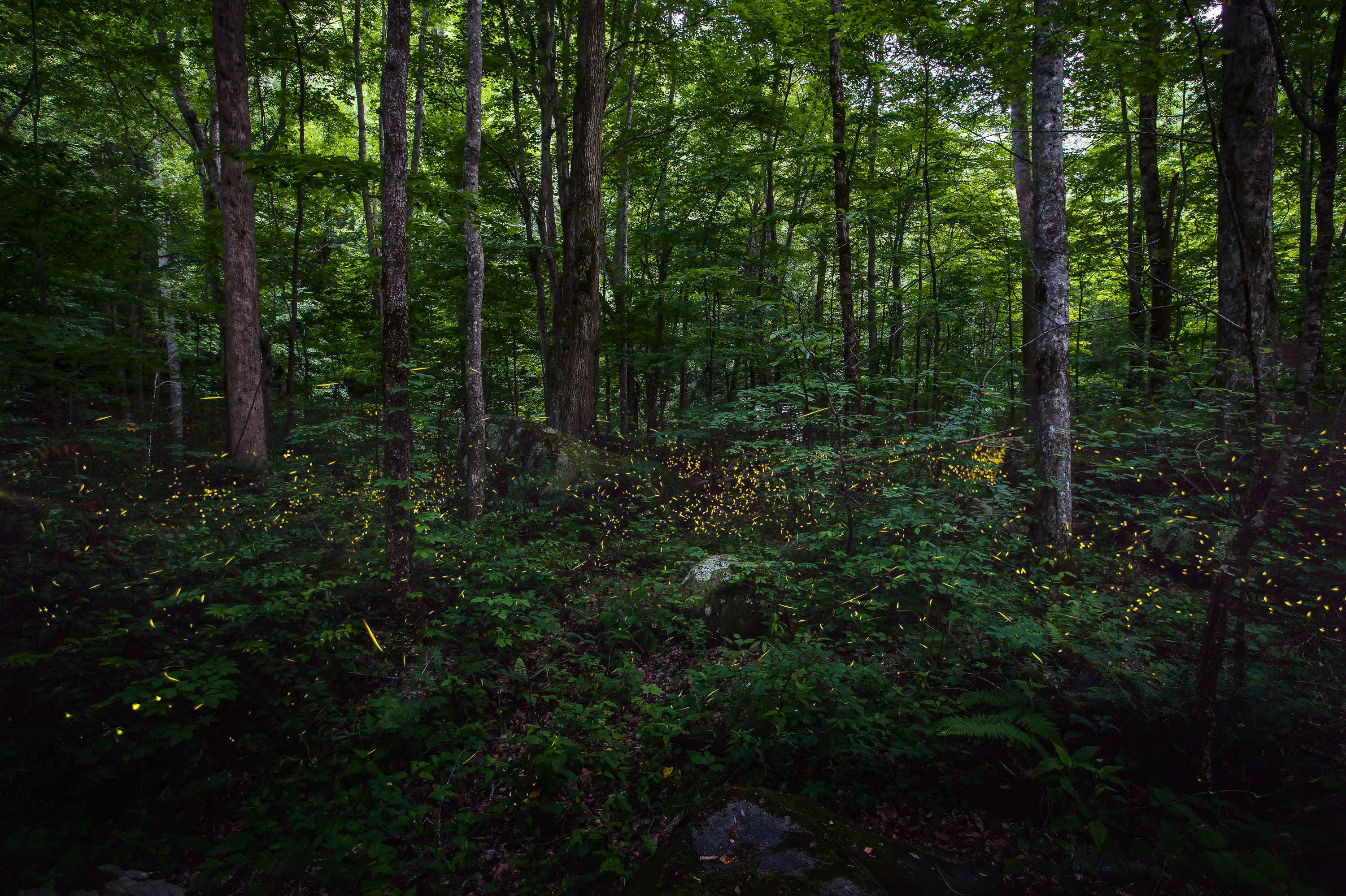 Here's how to see synchronous fireflies light up Great Smoky Mountains National Park