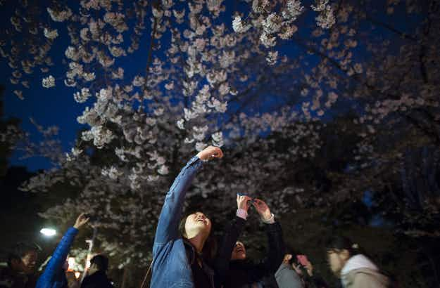 Tokyo shows signs of spring as Japan celebrates cherry blossom season
