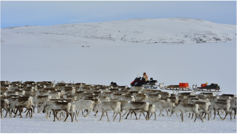 Watch this week-long TV broadcast of a reindeer herd moving to summer pastures in Norway