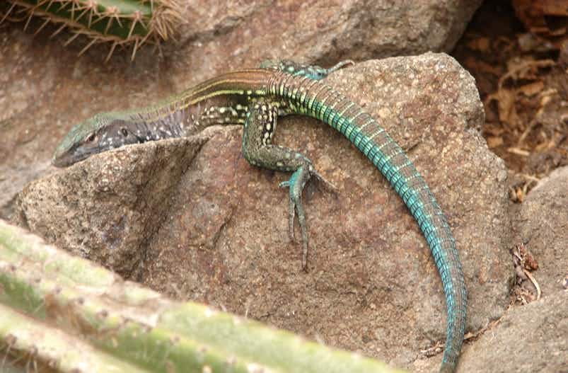 Tourists have been urged to help protect St Lucia's unique whiptail lizards and racer snakes