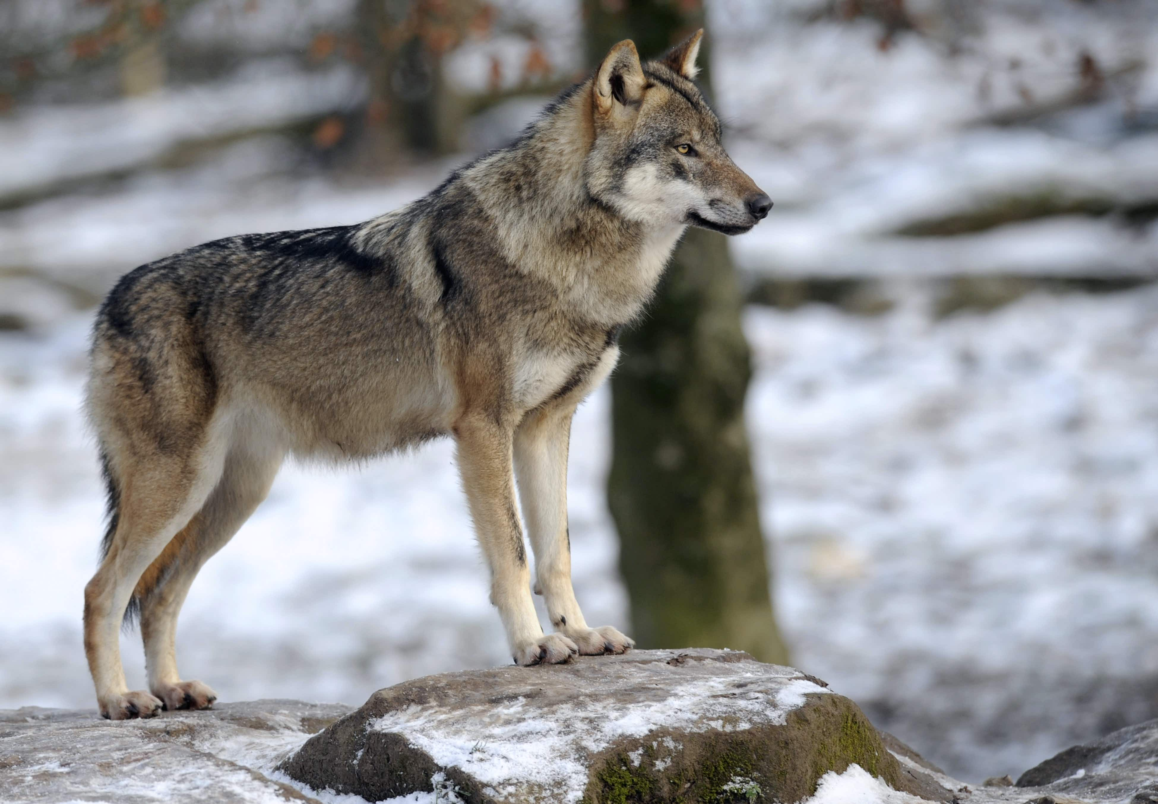 A wild wolf pack is roaming Denmark for the first time in 200 years