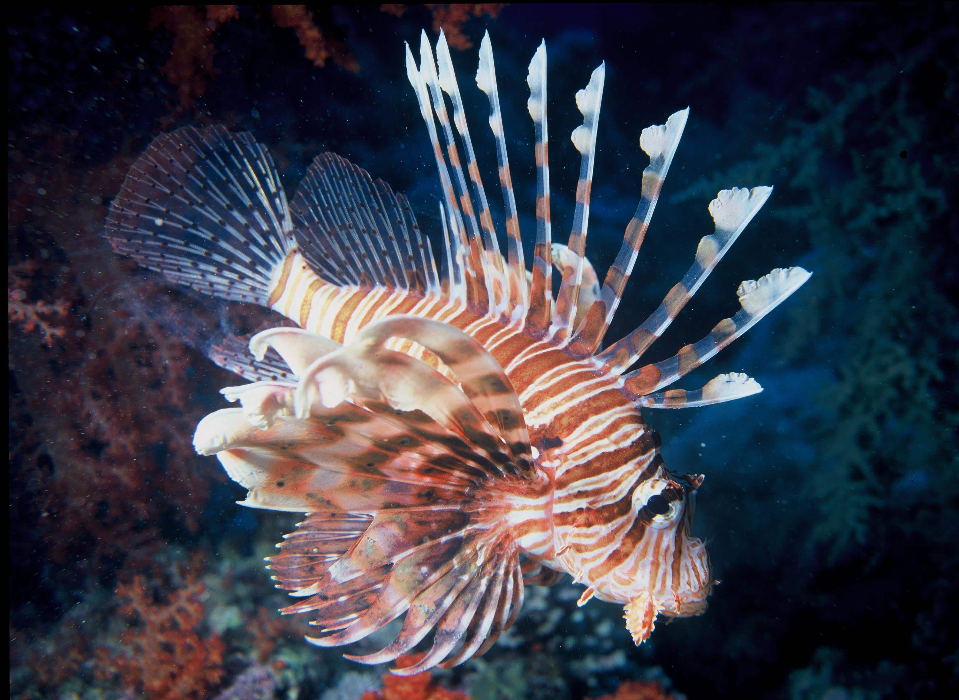 Could eating venomous lionfish help save the world's oceans?