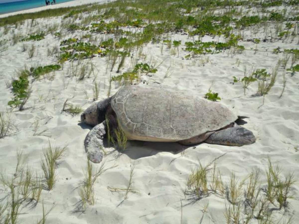 Cancun's sea turtle nesting season has an earlier start this year
