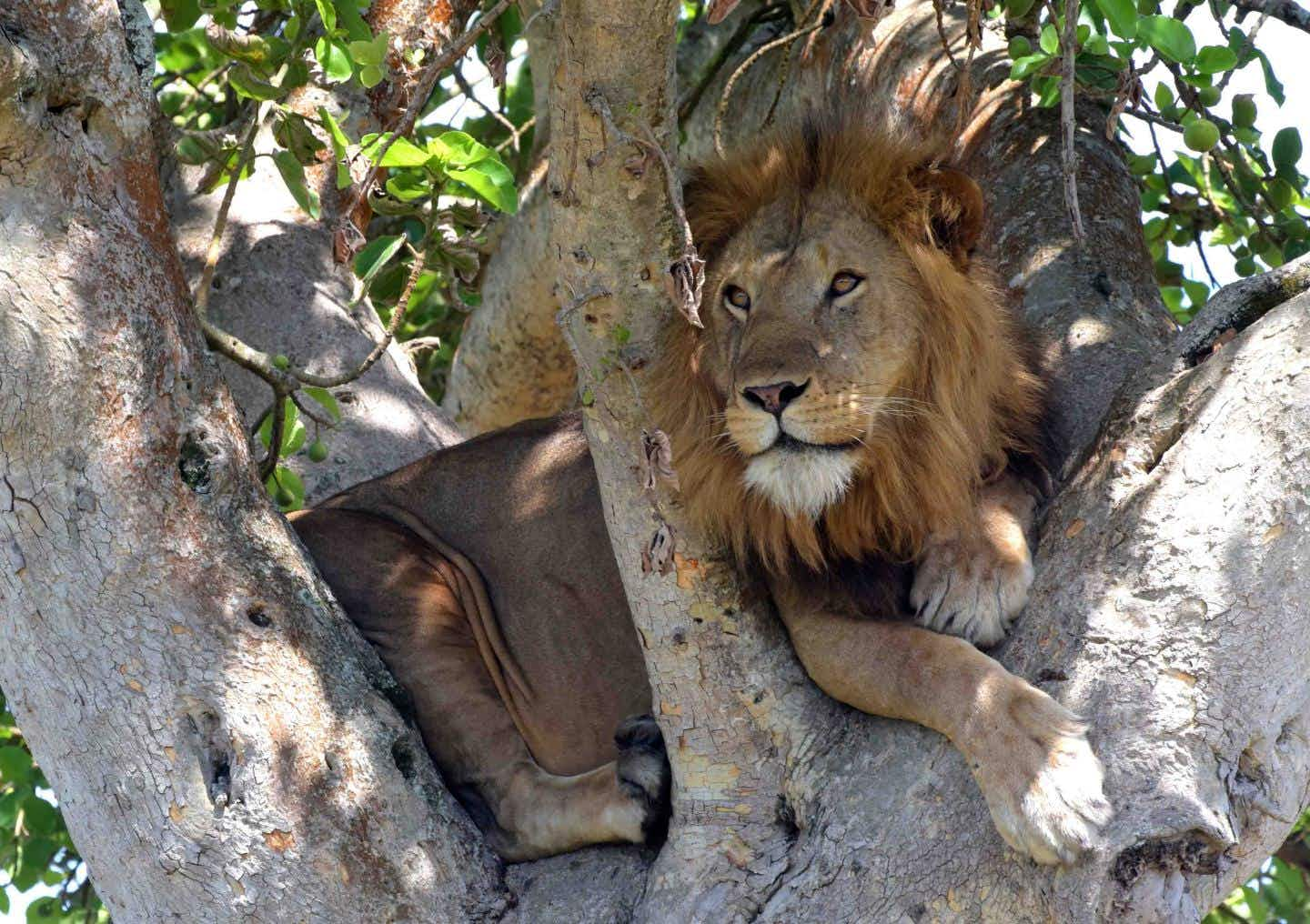 What has Uganda's famous tree-climbing lions roaming further from their natural habitat?