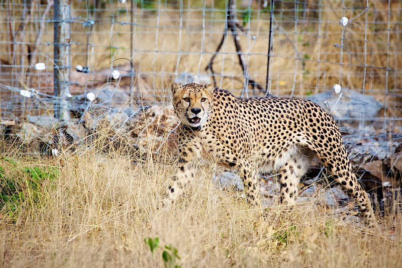 Threatened Cheetahs Have Returned To Malawi After 20 Years