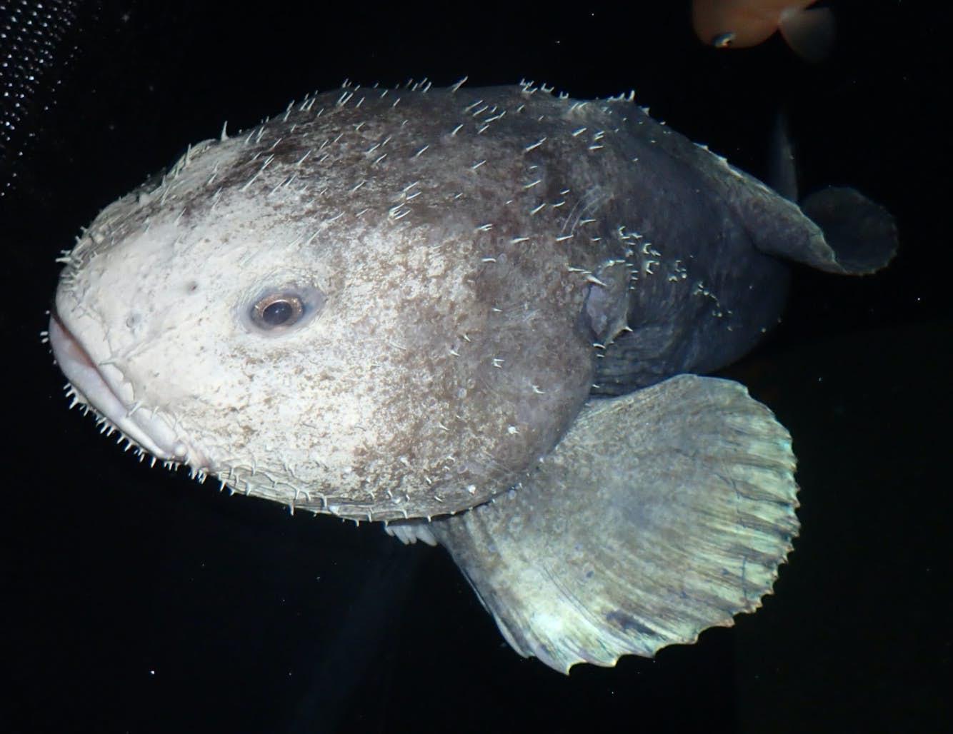 Blobfish_2.jpg
