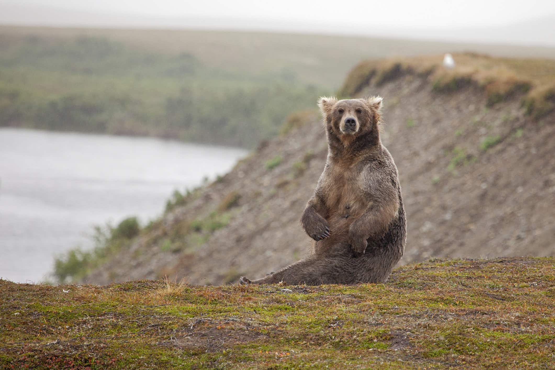 The grizzlies of Yellowstone have been taken off the endangered list