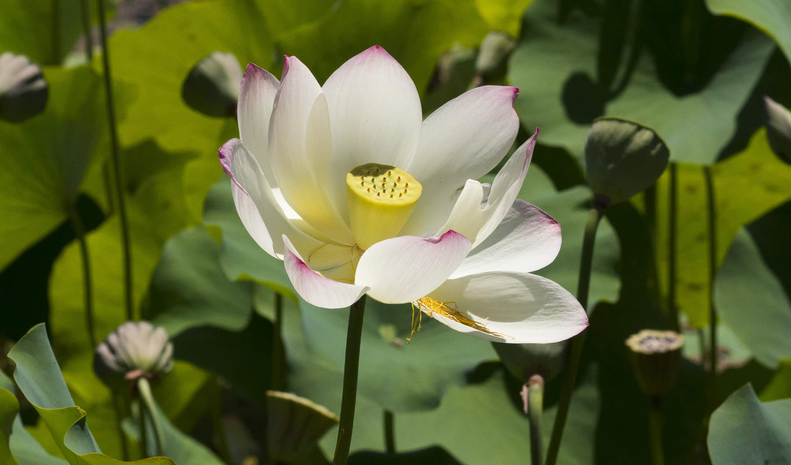 LA's Echo Park sees an amazing lotus bloom a month before annual festival