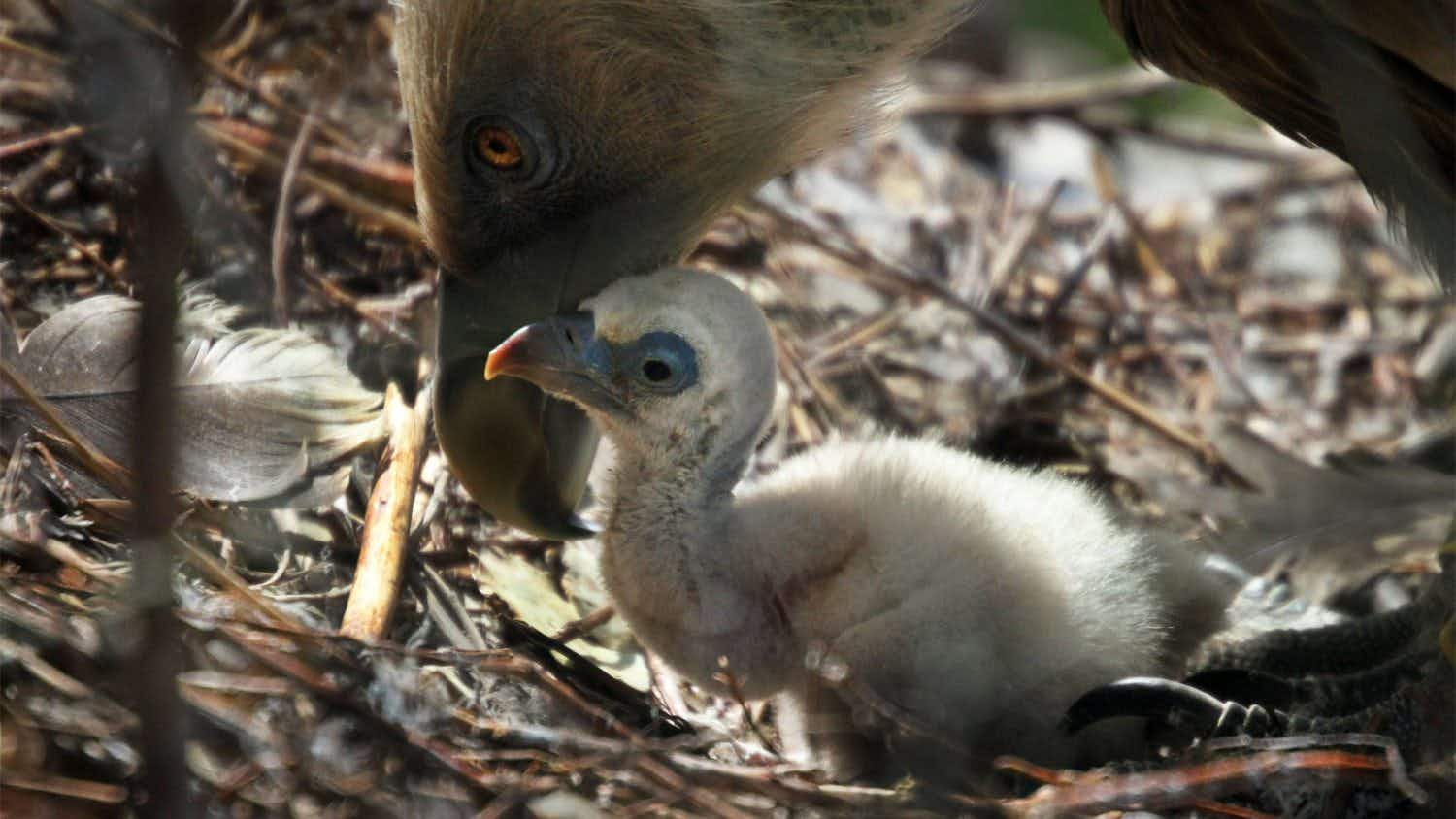 There are two new proud daddies at a Dutch zoo, where a gay vulture couple has hatched a baby chick