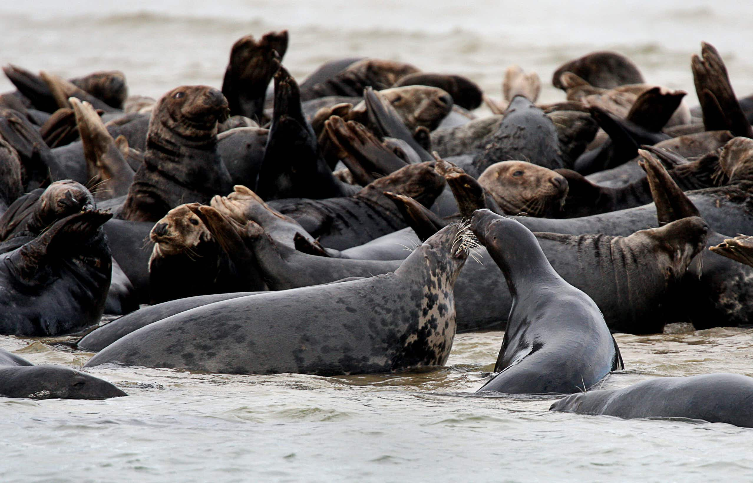 The once nearly extinct gray seal is making a comeback off the coast of New England