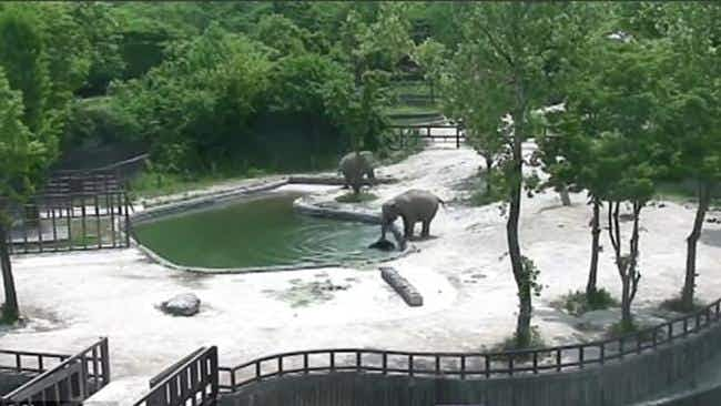Watch as quick-thinking elephants save calf from drowning in Seoul