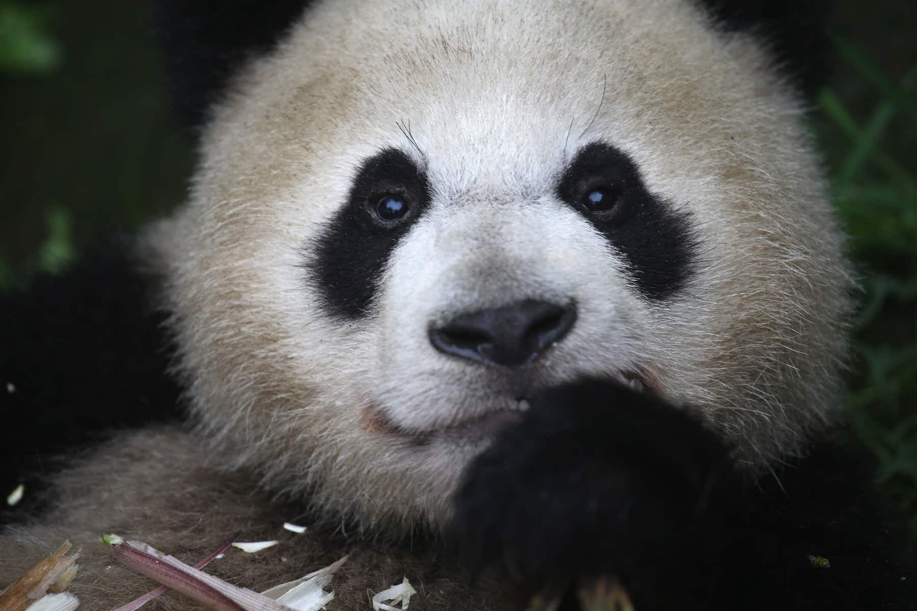 China announces a new panda route for tourists to see more of the furry giants