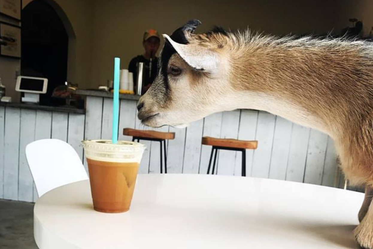 Butters the pygmy goat is the full-of-beans star of a coffee shop in Austin, Texas