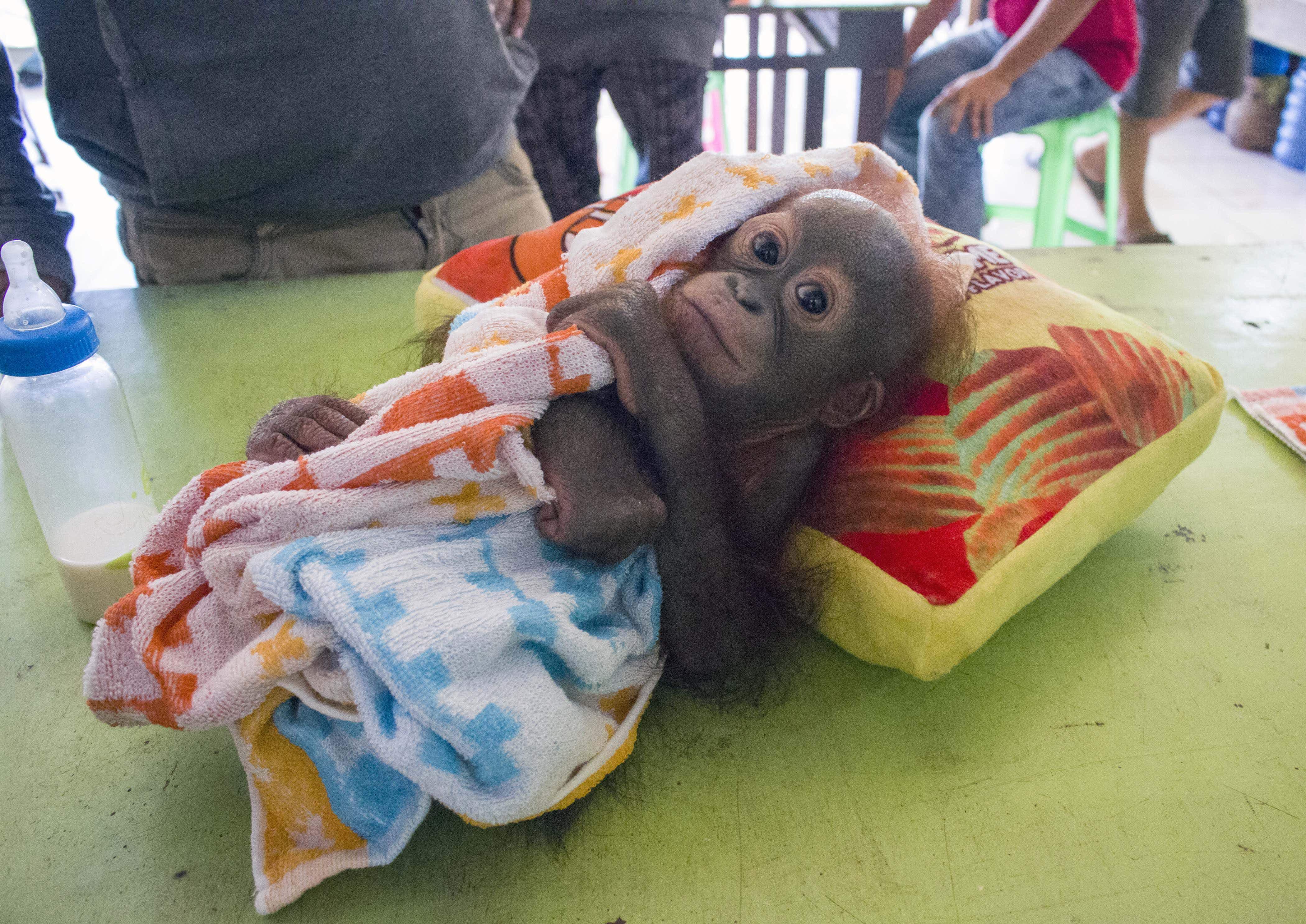 An adorable orphaned orangutan graduates from pre-school at a Borneo rescue centre