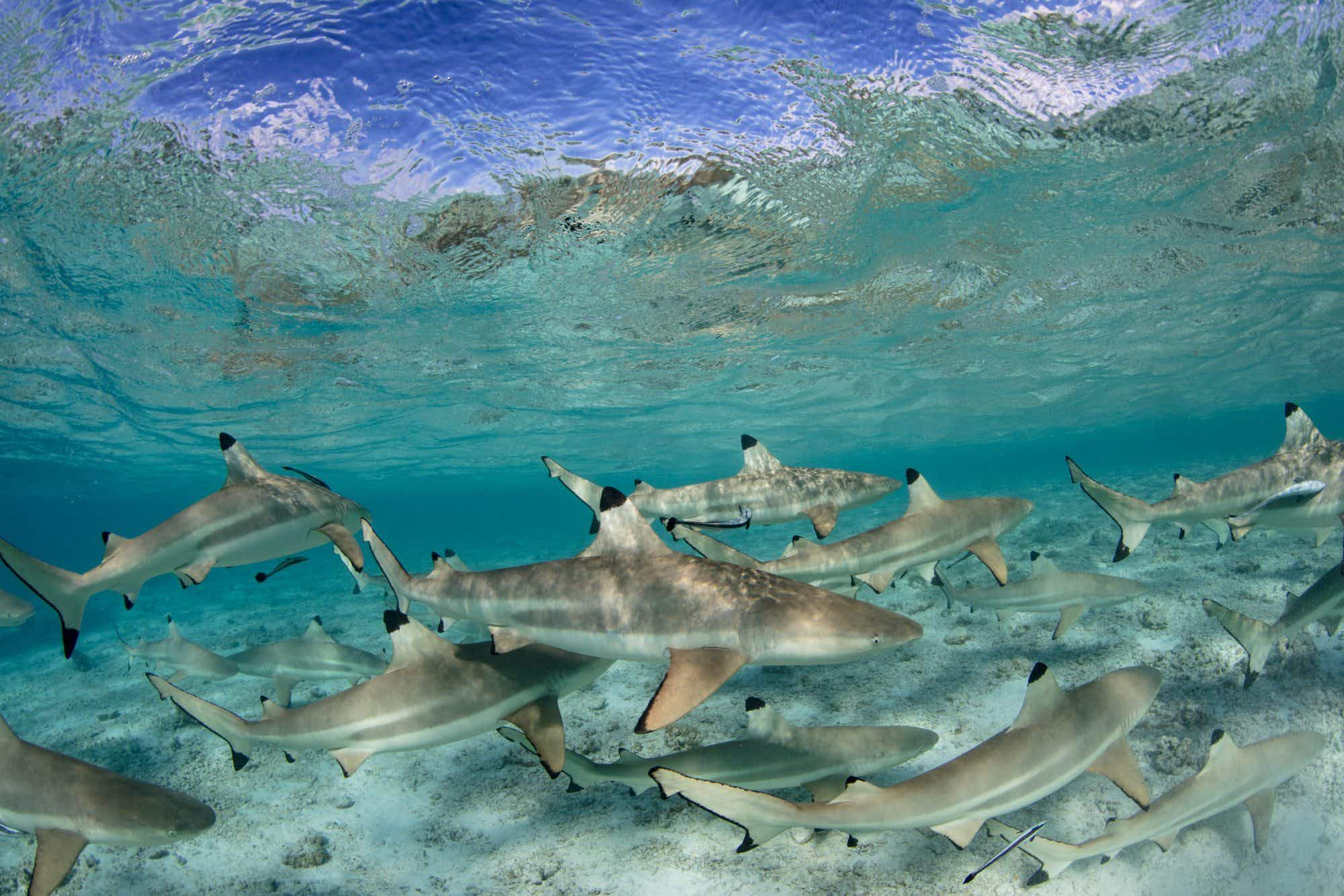 Watch as photographer is swarmed by 300-pound Blacktip Reef sharks in French Polynesia