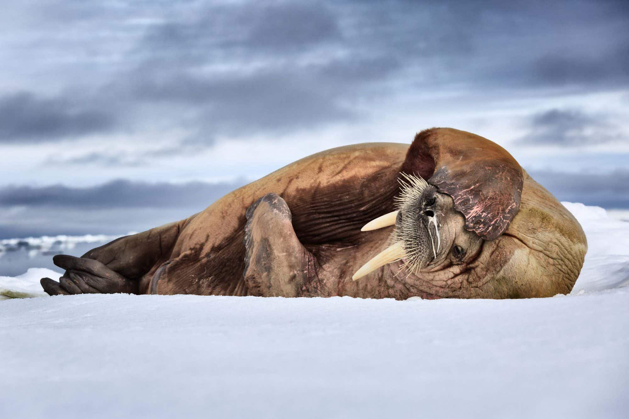Meanwhile in Norway, this sleepy walrus has had quite enough for one day