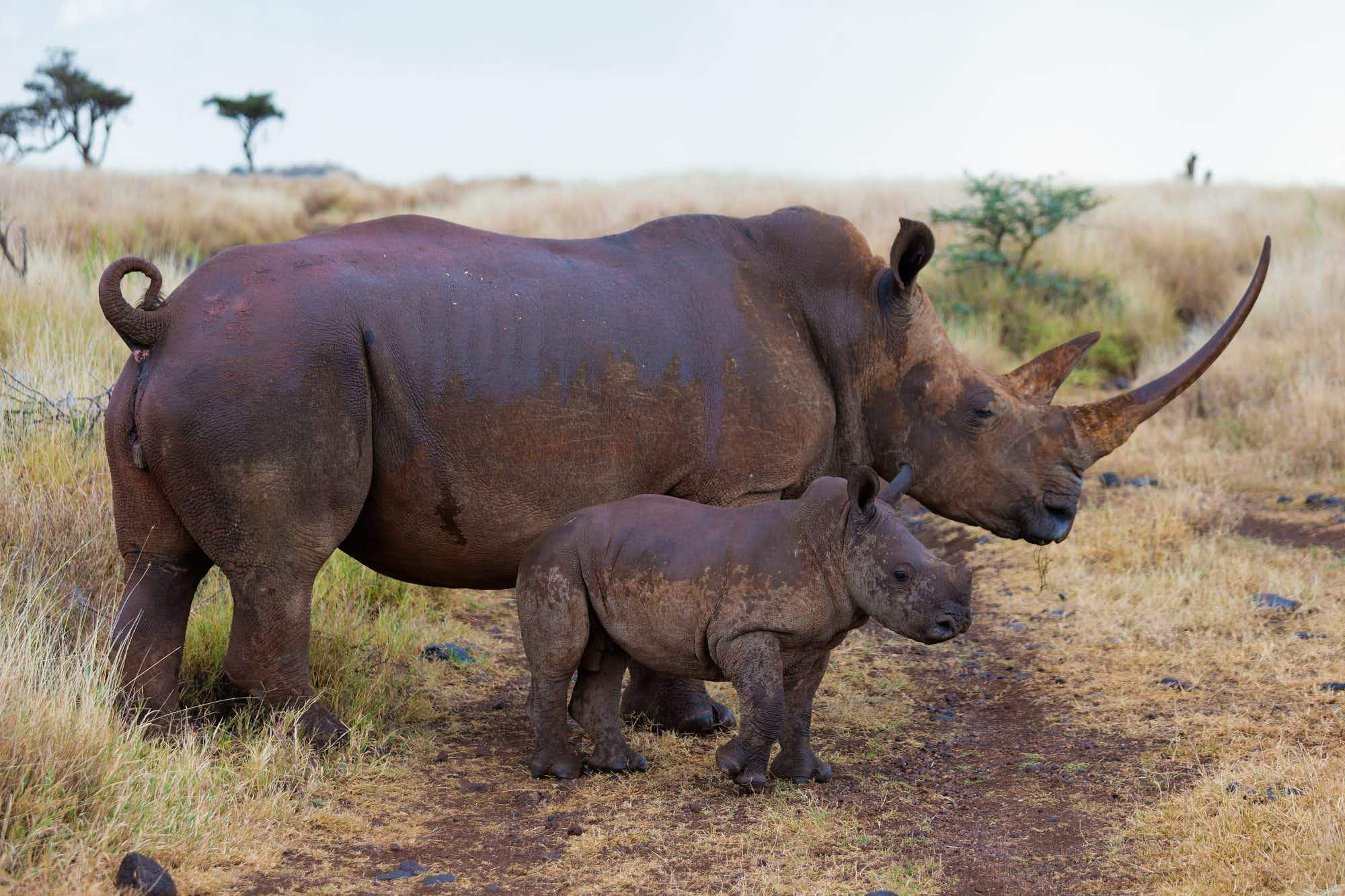 The incredible Kenyan conservation project that saw fourteen new rhinos born last year