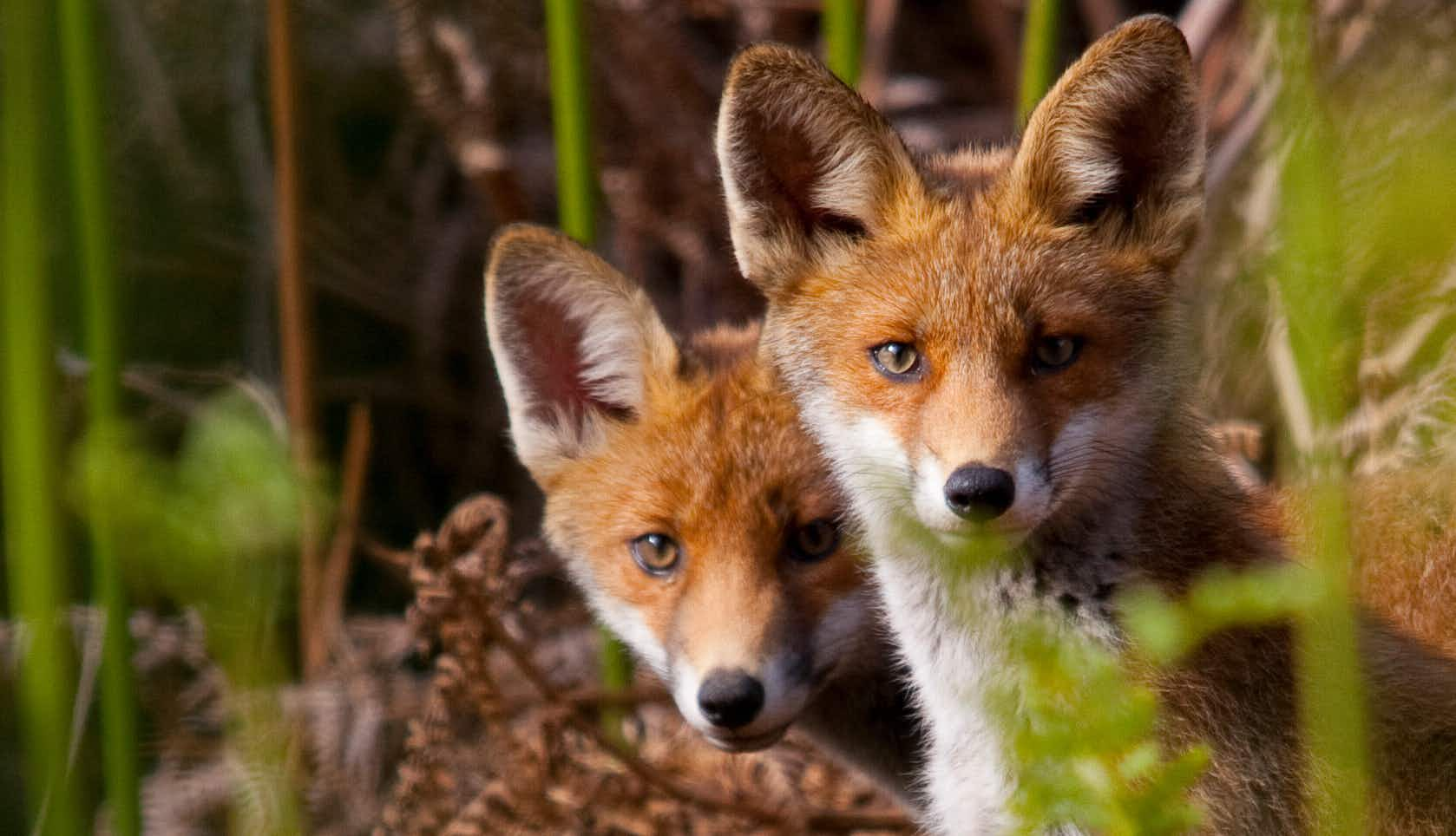 London Fox Fortnight gives a fascinating glimpse of English wildlife in urban environments