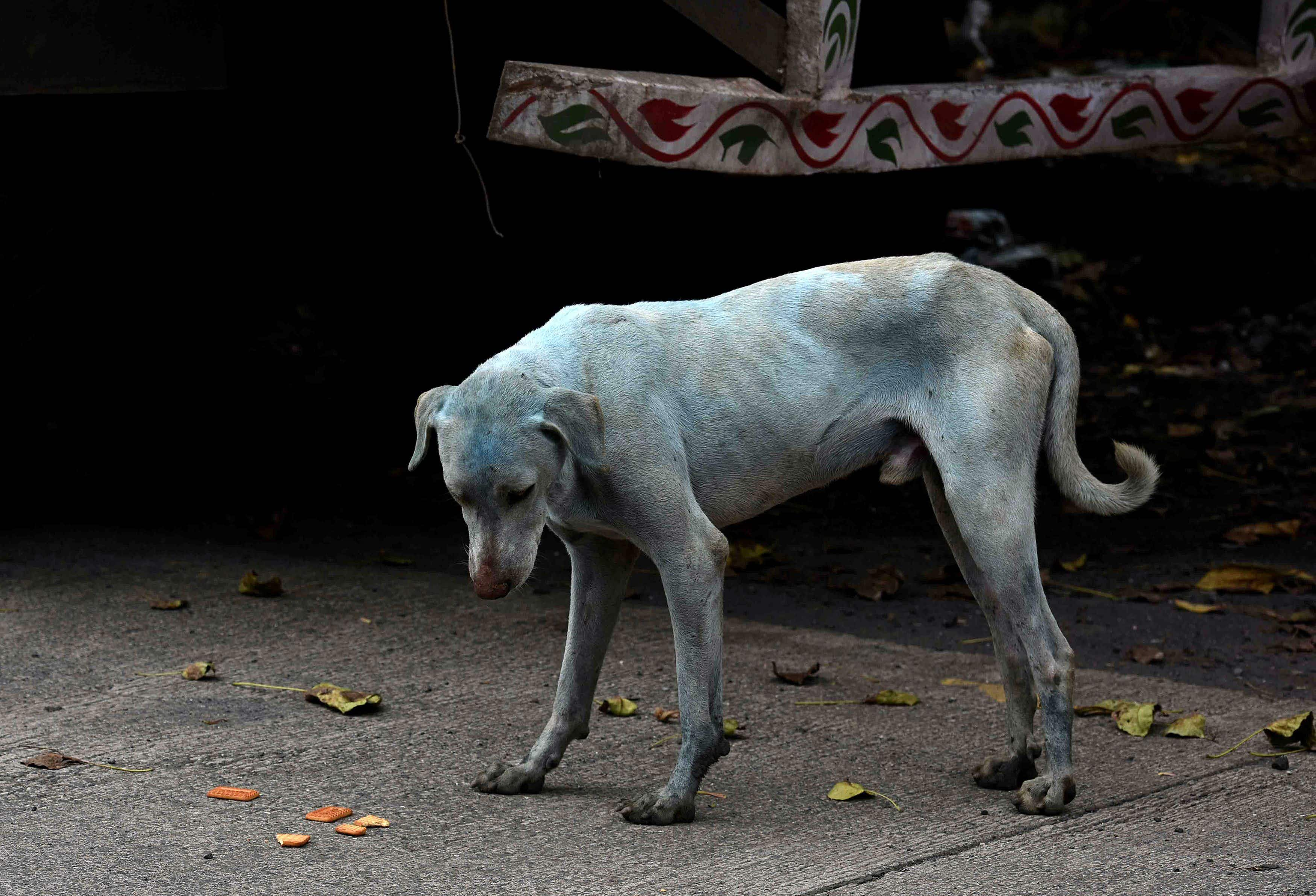 Mystery explained: local vets solve the curious case of Mumbai's blue dogs