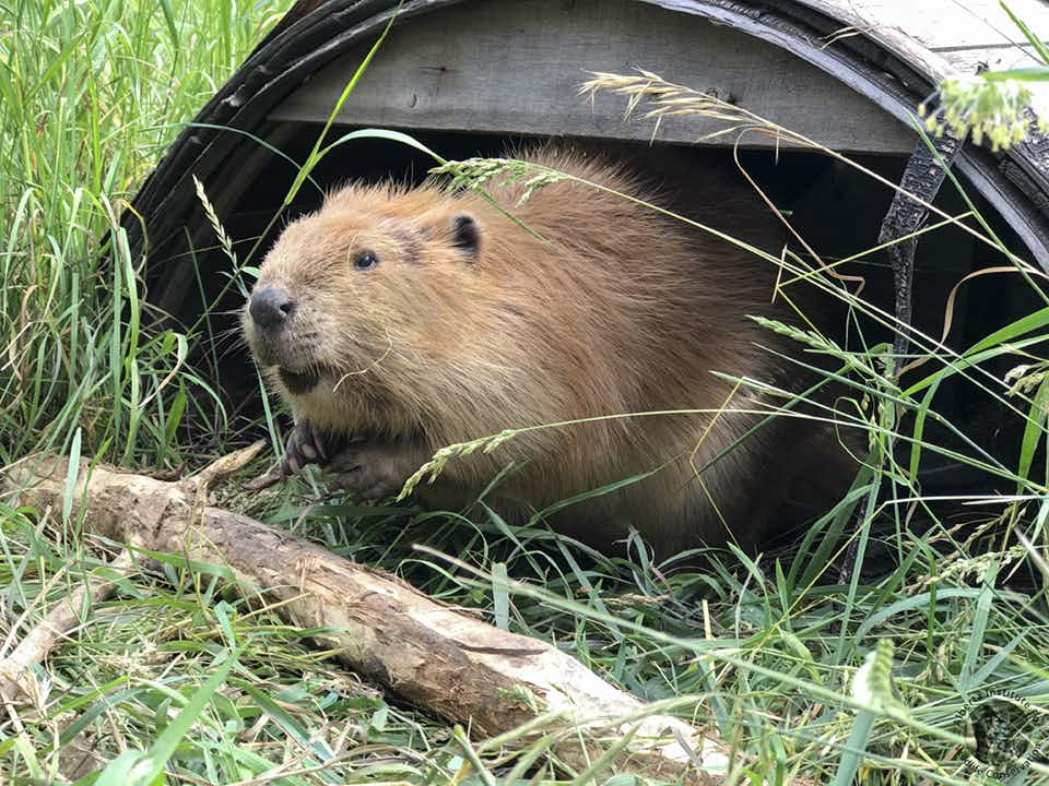 The Canadian beaver who became a YouTube star has found a friend