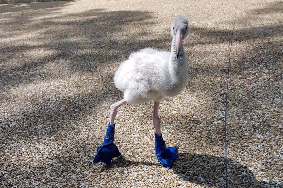 Squish the adorable baby flamingo shows off the blue booties he wears to protect his feet