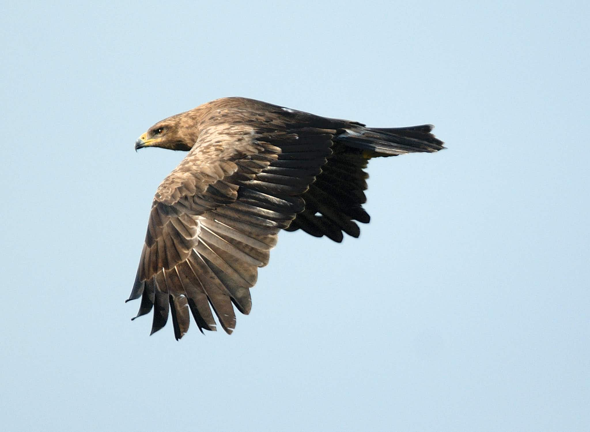 German conservationists mount campaign to save the lesser spotted eagle