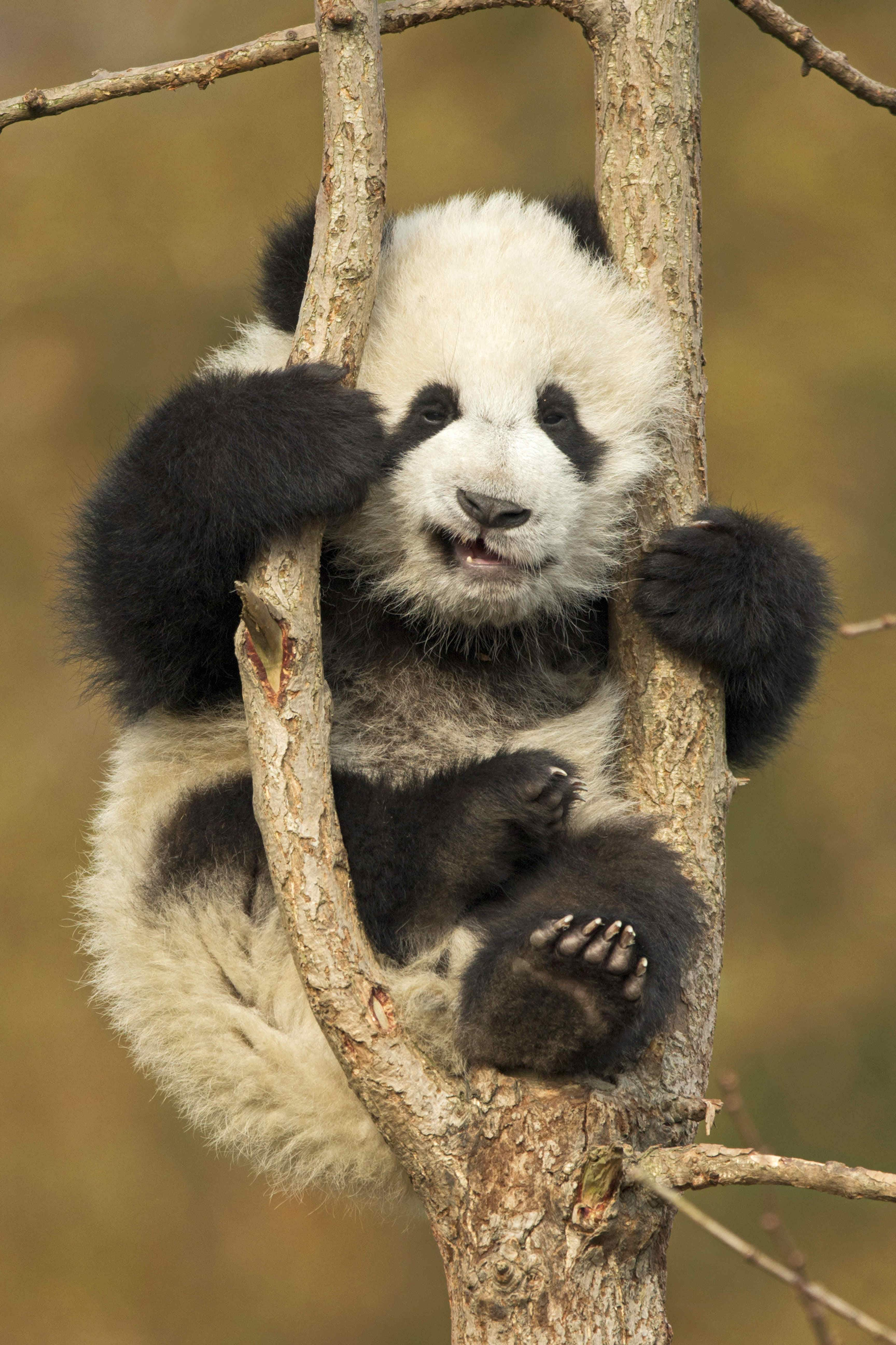 An adorable baby panda got stuck in a tree in China and decided to take a nap