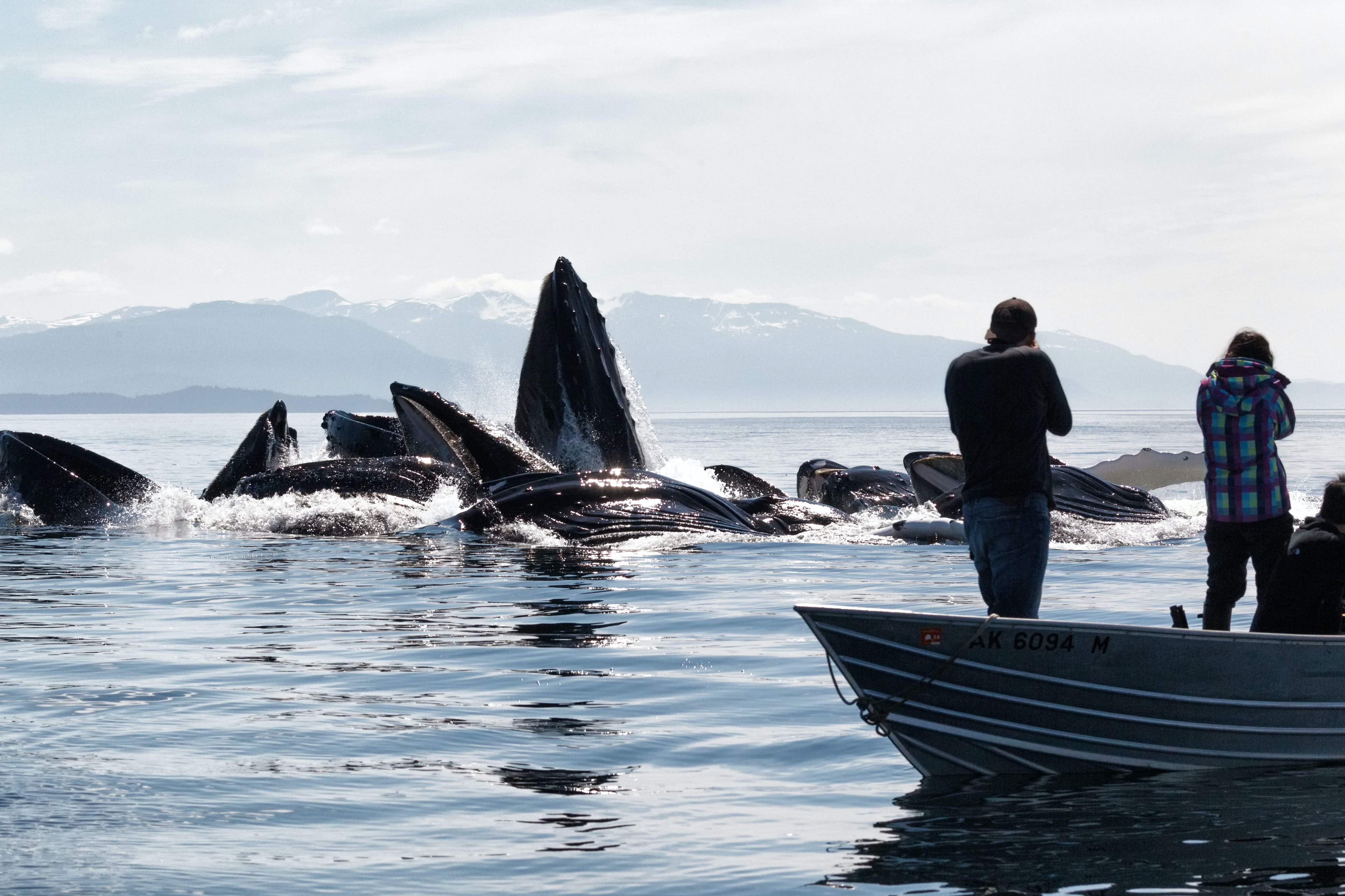 See humpback whales captured by nature photographer emerging from water to feed in the Pacific