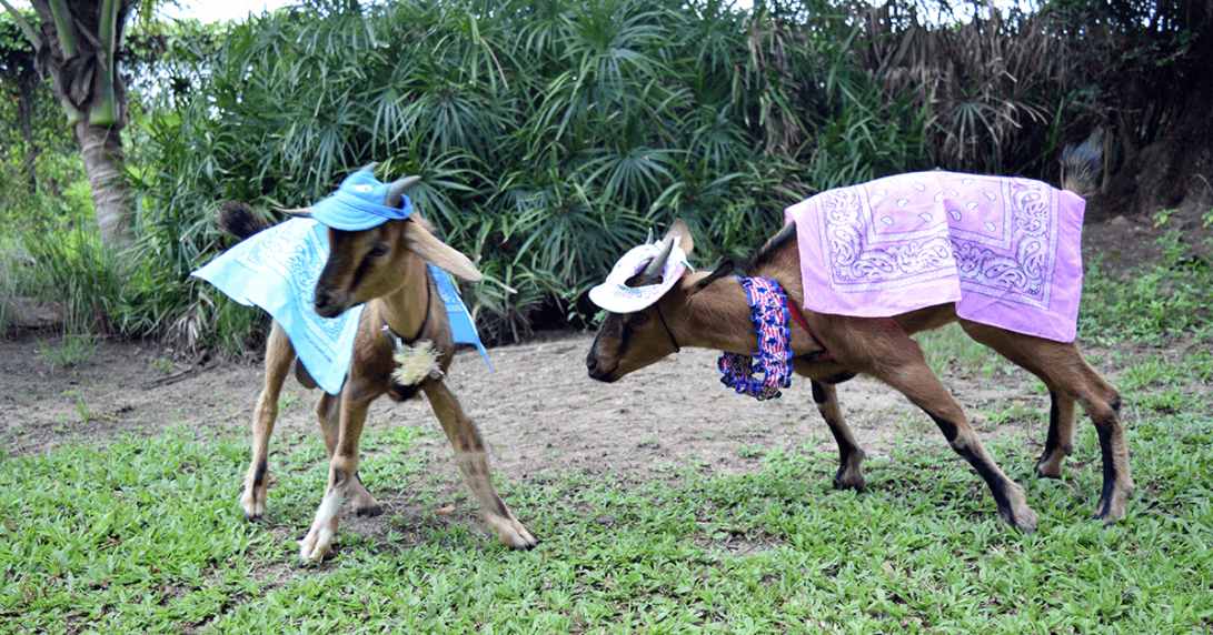 You can picnic with Betty the goat-hostess at this luxury Jamaican resort