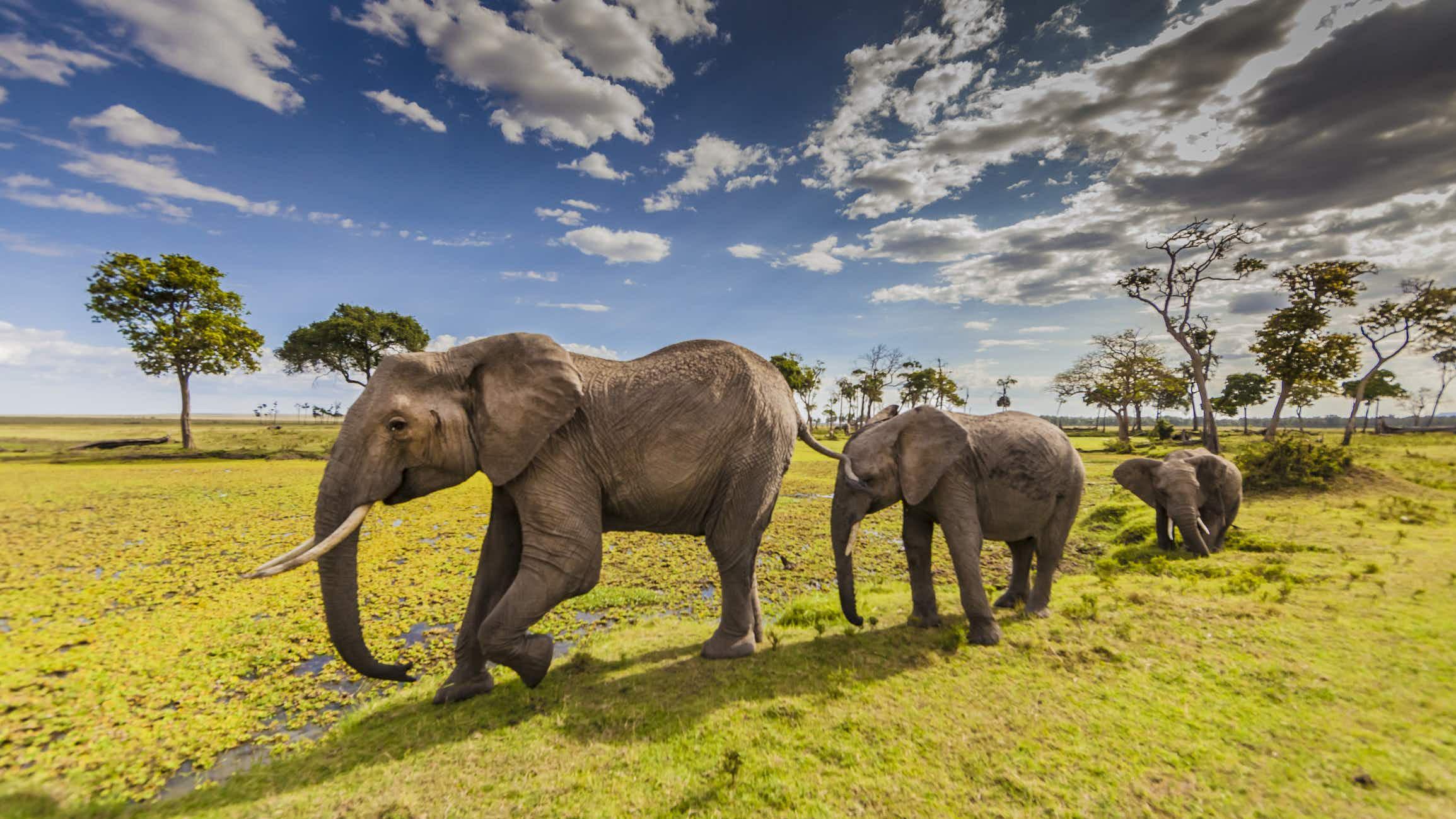 The elephant population in Kenya's Masai Mara has risen dramatically