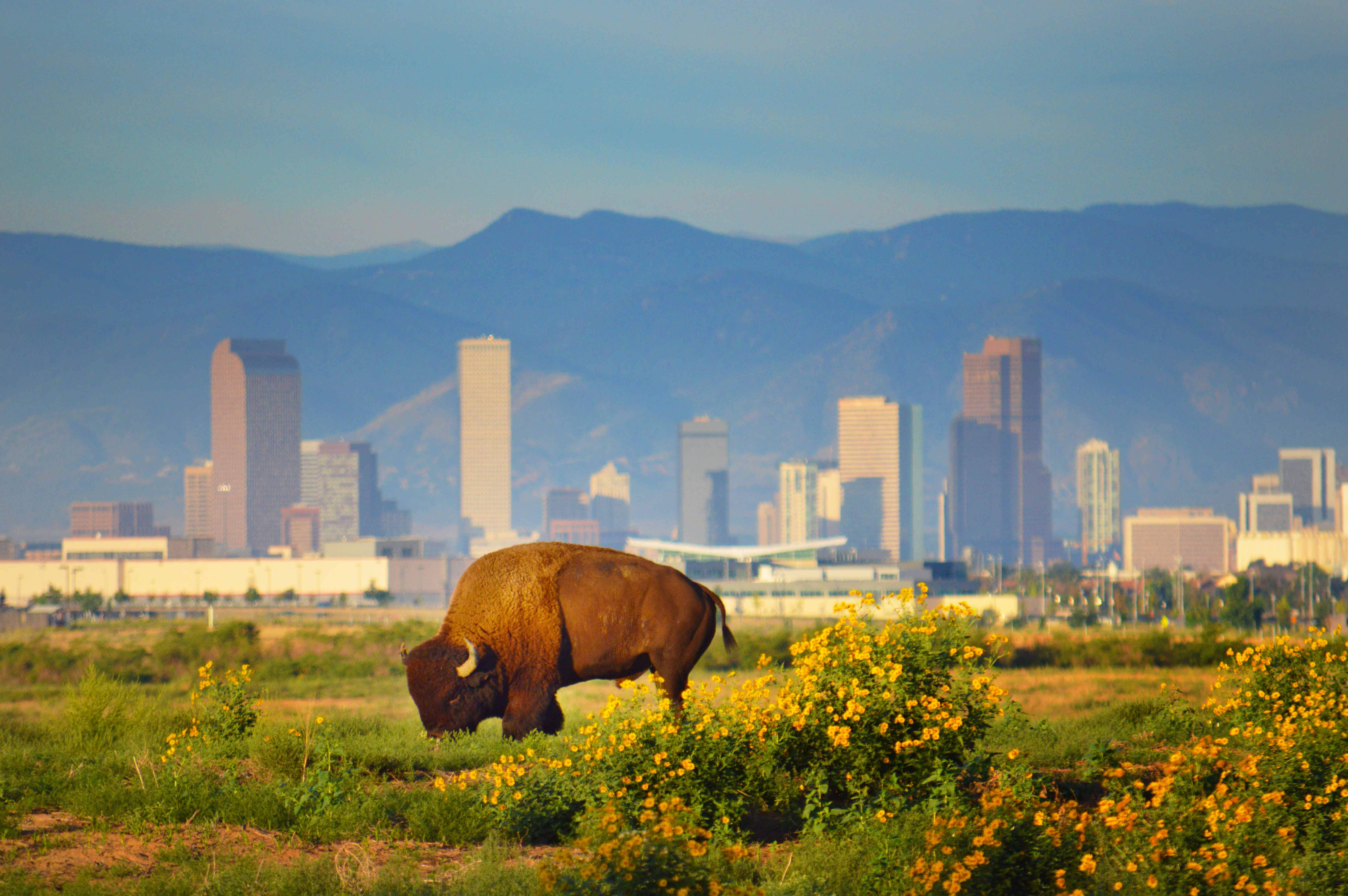 Why herds of wild bison may soon roam free at Denver International Airport